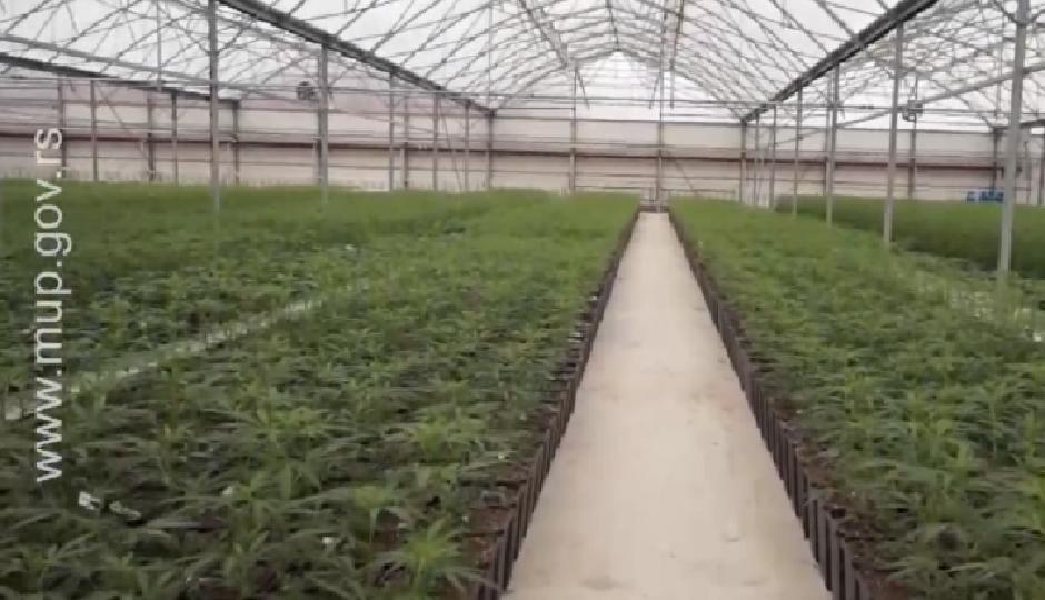 Plantaža marihuane Jovanjica FOTO: MUP