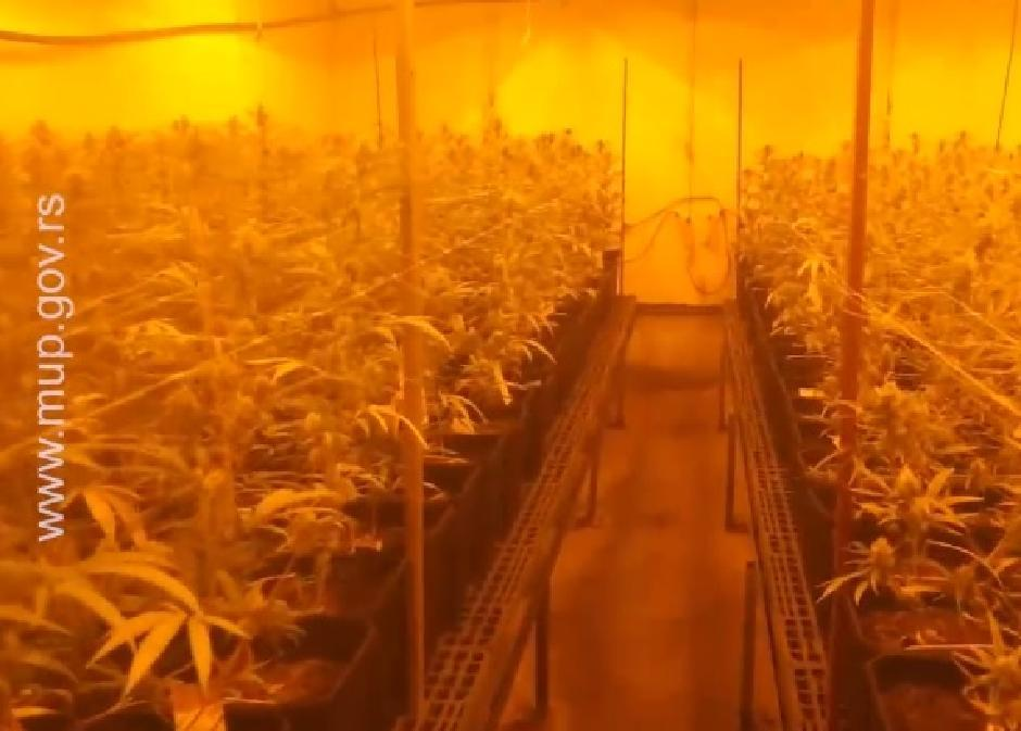 Plantaža marihuane u Jovanjici FOTO: MUP